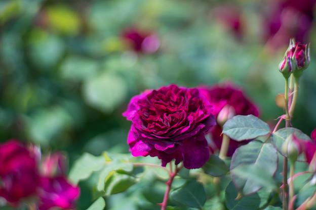 111花菜ガーデン【春バラ:ウィリアム・シェークスピア2000】