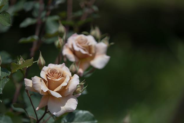 112花菜ガーデン【春バラ:ジュリア】