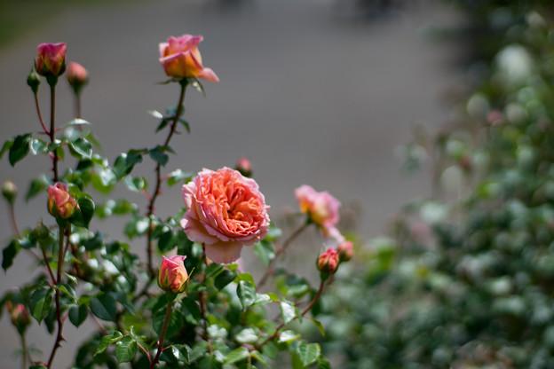 113花菜ガーデン【春バラ:アブラハム・ダービー】