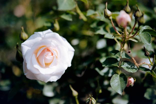 120花菜ガーデン【春バラ:プリティ・レディ】銀塩NLP
