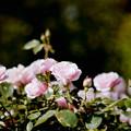 122花菜ガーデン【春バラ:フェルシューレン】銀塩NLP