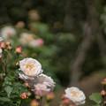 119花菜ガーデン【春バラ:グルス・アン・アーヘン】