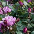 125花菜ガーデン【春バラ:シンギン・ザ・ブルース】