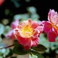 126花菜ガーデン【春バラ:ラジオ】銀塩NLP