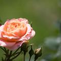 128花菜ガーデン【春バラ:サマー・ドリーム】
