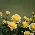 115花菜ガーデン【春バラ:サンライト・ロマンティカ】