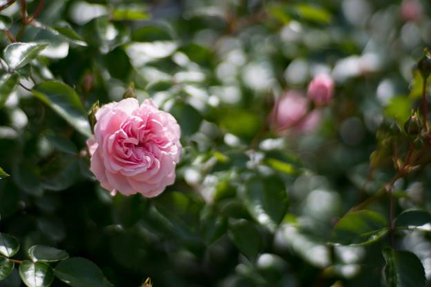 124花菜ガーデン【春バラ:グラニー】