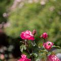 129花菜ガーデン【春バラ:ファースト・プライス】