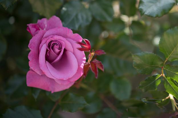 131花菜ガーデン【春バラ:ショッキング・ブルー】