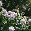 137花菜ガーデン【春バラ:ルドュテ】