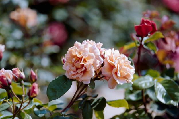 118花菜ガーデン【春バラ:ラベンダー・ピノキオ】銀塩NLP