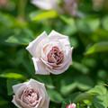 132花菜ガーデン【春バラ:アッシュ・ウェンズデイ】