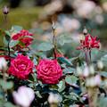 133花菜ガーデン【春バラ:熱情】銀塩NLP