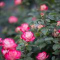 Photos: 008生田緑地ばら苑【春バラ:ジュビレ・デュ・プリンス・ドゥ・モナコ】1
