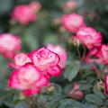 Photos: 009生田緑地ばら苑【春バラ:ジュビレ・デュ・プリンス・ドゥ・モナコ】2