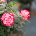 Photos: 010生田緑地ばら苑【春バラ:ジュビレ・デュ・プリンス・ドゥ・モナコ】3