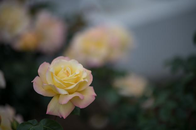 062生田緑地ばら苑【春バラ:ピース】2
