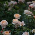 Photos: 065生田緑地ばら苑【春バラ:タモラ】1