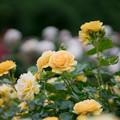 Photos: 071生田緑地ばら苑【春バラ:アブソリュートリー・ファビュラス】1
