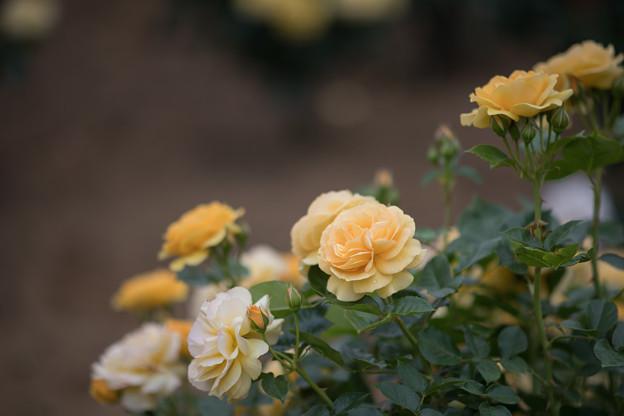 Photos: 072生田緑地ばら苑【春バラ:アブソリュートリー・ファビュラス】2