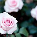 Photos: 076生田緑地ばら苑【春バラ:フラミンゴ】2銀塩NLP