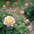 Photos: 081生田緑地ばら苑【春バラ:チャールズ・ダーウィン】1