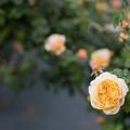 Photos: 082生田緑地ばら苑【春バラ:チャールズ・ダーウィン】2