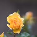Photos: 085生田緑地ばら苑【春バラ:ユーレカ】2
