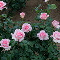 Photos: 075生田緑地ばら苑【春バラ:フラミンゴ】1