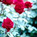 Photos: 087生田緑地ばら苑【春バラ:レッド・クイーン】2銀塩NLP