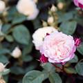 Photos: 088生田緑地ばら苑【春バラ:ストロベリー・マカロン】1銀塩NLP