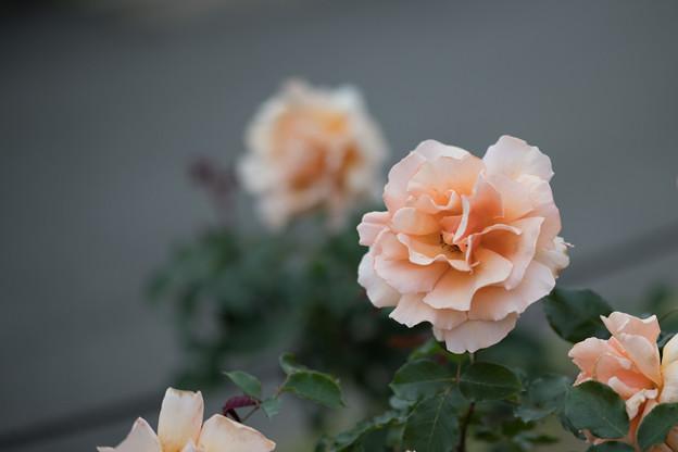 Photos: 090生田緑地ばら苑【春バラ:ジャスト・ジョイ】1