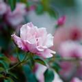 Photos: 092生田緑地ばら苑【春バラ:スパニッシュビューティ】1銀塩NLP