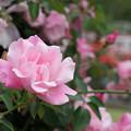 Photos: 093生田緑地ばら苑【春バラ:スパニッシュビューティ】2