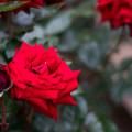 Photos: 094生田緑地ばら苑【春バラ:イングリッド・バーグマン】