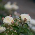 Photos: 095生田緑地ばら苑【春バラ:パテル・カポルヨン】1