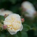 Photos: 096生田緑地ばら苑【春バラ:パテル・カポルヨン】2