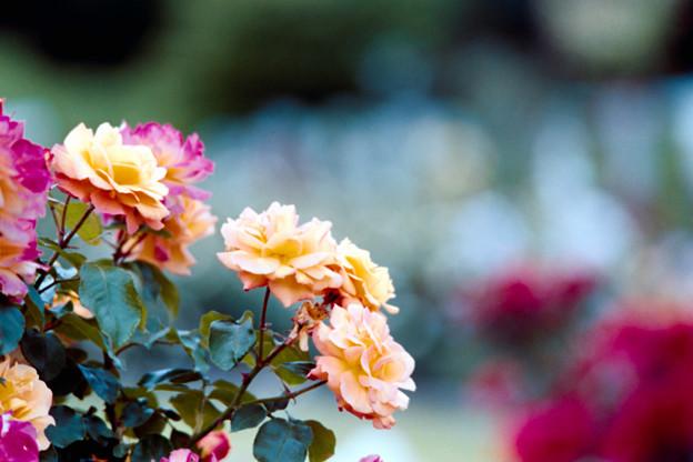 098生田緑地ばら苑【春バラ:スーブニール・ドゥ・アンネ・フランク】銀塩NLP