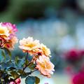 Photos: 098生田緑地ばら苑【春バラ:スーブニール・ドゥ・アンネ・フランク】銀塩NLP
