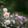Photos: 104生田緑地ばら苑【春バラ:リッチフィールド・エンジェル】1