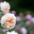 Photos: 105生田緑地ばら苑【春バラ:リッチフィールド・エンジェル】2