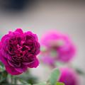 Photos: 107生田緑地ばら苑【春バラ:ニーナ・アナニアシビリ】