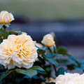 Photos: 108生田緑地ばら苑【春バラ:ラ・フォンテーヌ】銀塩NLP
