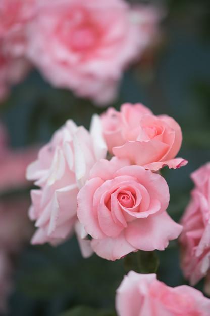 Photos: 103生田緑地ばら苑【春バラ:プリンセス・アイコ】