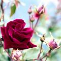 Photos: 111生田緑地ばら苑【春バラ:ロブ・ロイ】銀塩NLP