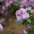 Photos: 113生田緑地ばら苑【春バラ:ブルー・フォー・ユー】
