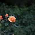 Photos: 115生田緑地ばら苑【春バラ:ウィンナー・チャーム】