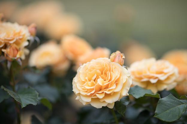 Photos: 117生田緑地ばら苑【春バラ:アンバークイーン】