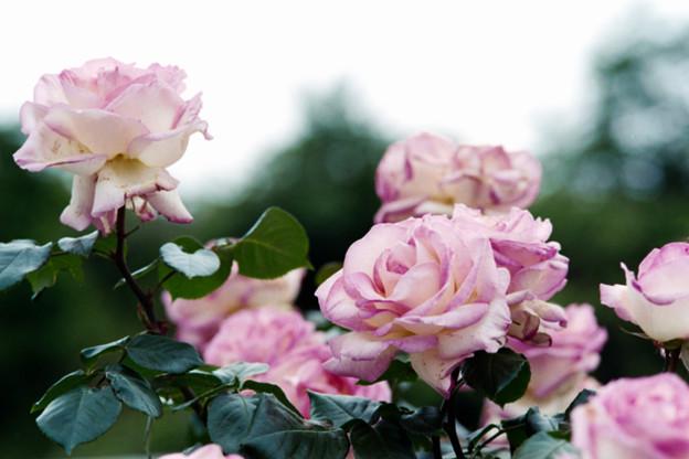 119生田緑地ばら苑【春バラ:プリンセス・ドゥ・モナコ】銀塩NLP