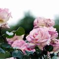 Photos: 119生田緑地ばら苑【春バラ:プリンセス・ドゥ・モナコ】銀塩NLP